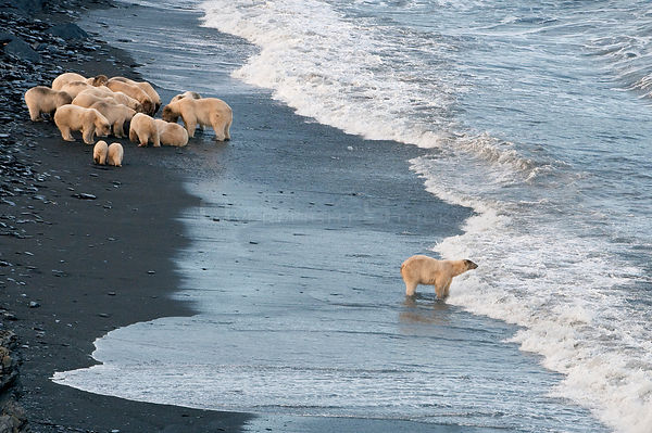 Polar bear (Ursus maritimus) feeding on carcass on beach, with one separate from the rest of the group looking out to sea, Wr...