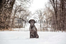 German Shorthaired Pointer framed by trees