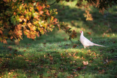 Very rare white pheasant that were used for spotting, but thankfully some have bred and survive in the wild, so rare but so f...