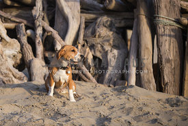 Happy dog with driftwood fort at beach