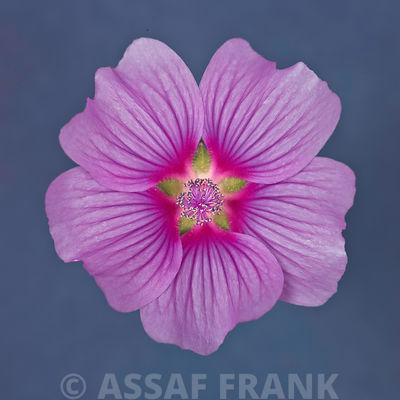 Close-up of purple Lavatera Flower