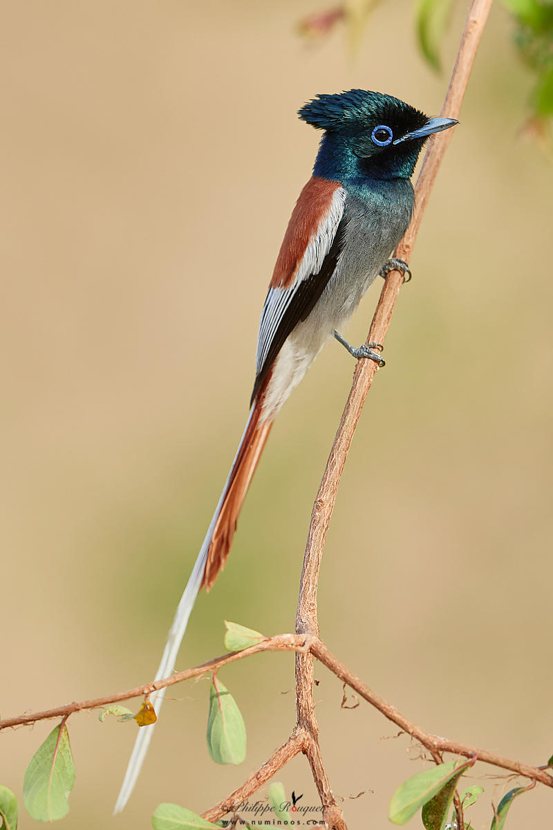 Profile view of Male African paradise flycatcher