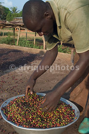 Coffee harvest in Côte d'Ivoire