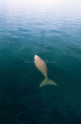 Adult Dugong surfacing to breath {Dugong dugong} Shark Bay, Western Australia