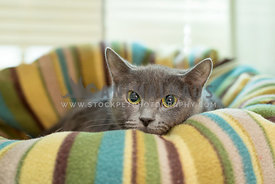 grey cat with beautiful eyes in bed