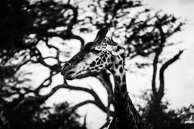 06106-Giraffe_in_front_of_the_acacia_tree_Laurent_Baheux