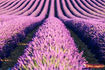 Rows of lavender in full bloom, Provence, France