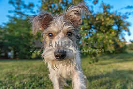 Scruffy terrier with big ears comes toward camera