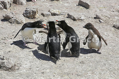 Argumentative Southern Rockhopper Penguins (Eudyptes chrysocome chrysocome), Cape Coventry, Pebble Island