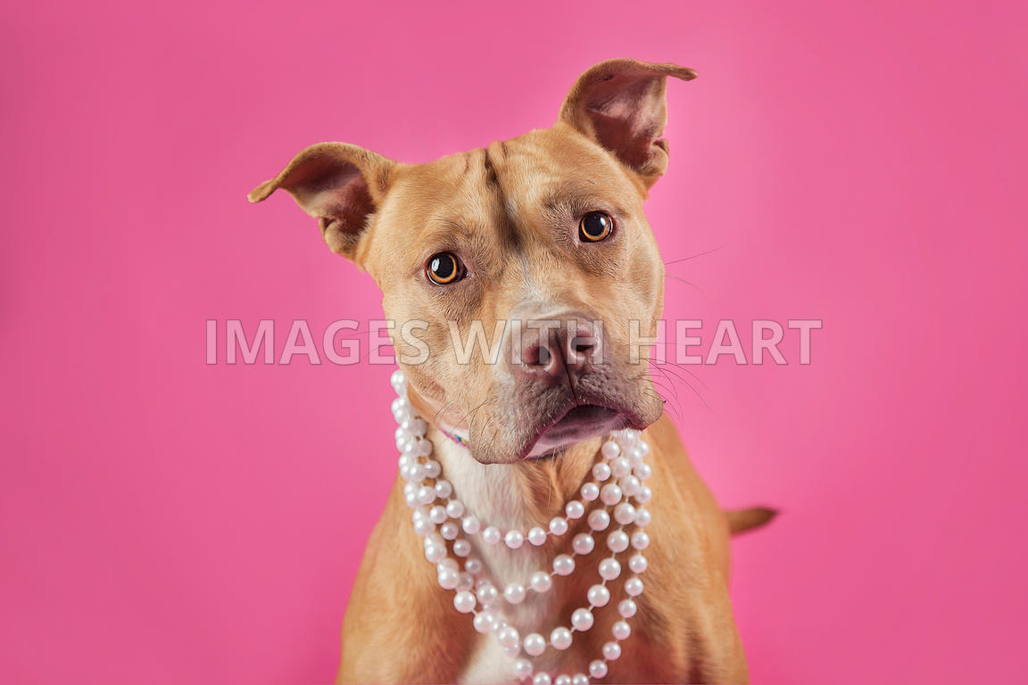 Pit bull on pink background wearing pearls