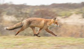 Fox on the Run, Netherlands