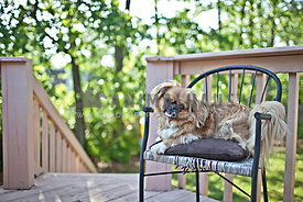 brown pekinese shih tzu mix sitting on chair outdoors on deck