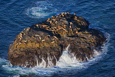Aerial view of Steller's sealions (Eumetopias jubatus) on rock, Pacific Rim National Park, Vancouver Island, Canada