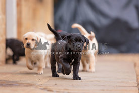 labrador puppies running across yard