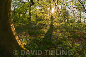 Beech Woodland, Thursford Wood North Norfolk in spring