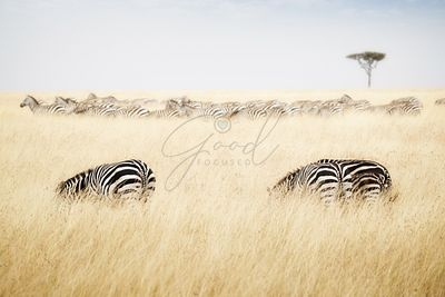 Zebra grazing on grass in Kenya Africa