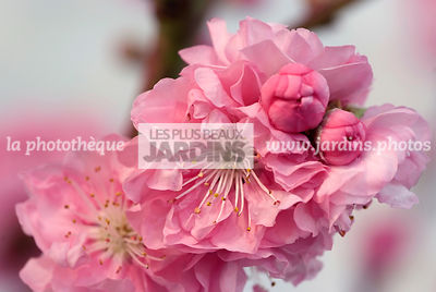 Fleurs de Prunus persica 'Taoflora' Mintao 11, Collection Minier