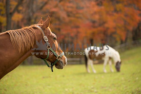 horse in pasture with other pony during fall