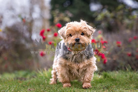 Yorkshire terrier standing in park red roses in background