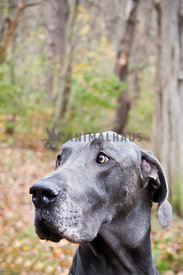 great dane profile in the woods