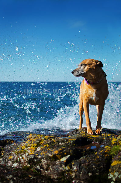 Dog getting splashed by waves on rock
