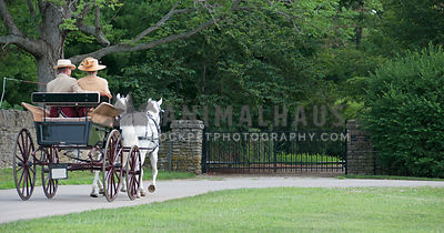 pair of gray ponies and carriage approaching a gate