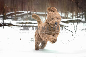 Active brown golden doodle dog running in the snowbound forest