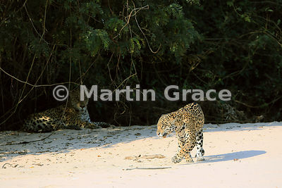 Female Jaguar (Panthera onca) 'Hunter' walks past her mate 'Hero', Three Brothers River, Northern Pantanal, Mato Grosso, Braz...
