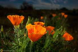 California Poppies #12