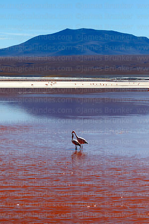 Flamingos in Laguna Colorada and Cerro Pabellon Chico, Eduardo Avaroa Andean Fauna National Reserve, Bolivia