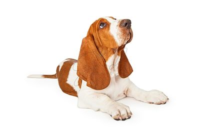 Basset Hound Puppy Looking Up for Approval