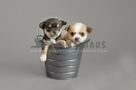two chichuahuas sitting in bucket