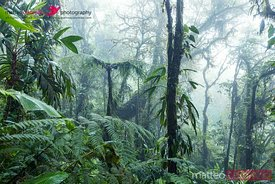 Tropical forest, Monteverde cloud forest, Costa Rica