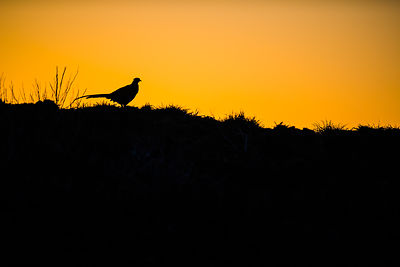 pheasant_shadow
