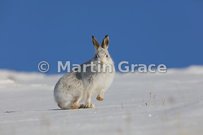 Mountain Hare (Arctic Hare) (Lepus timidus) in snow, with one front foot raised, February 13, Strathdearn, Scottish Highlands