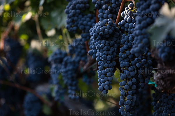Close up of ripe red grape clusters