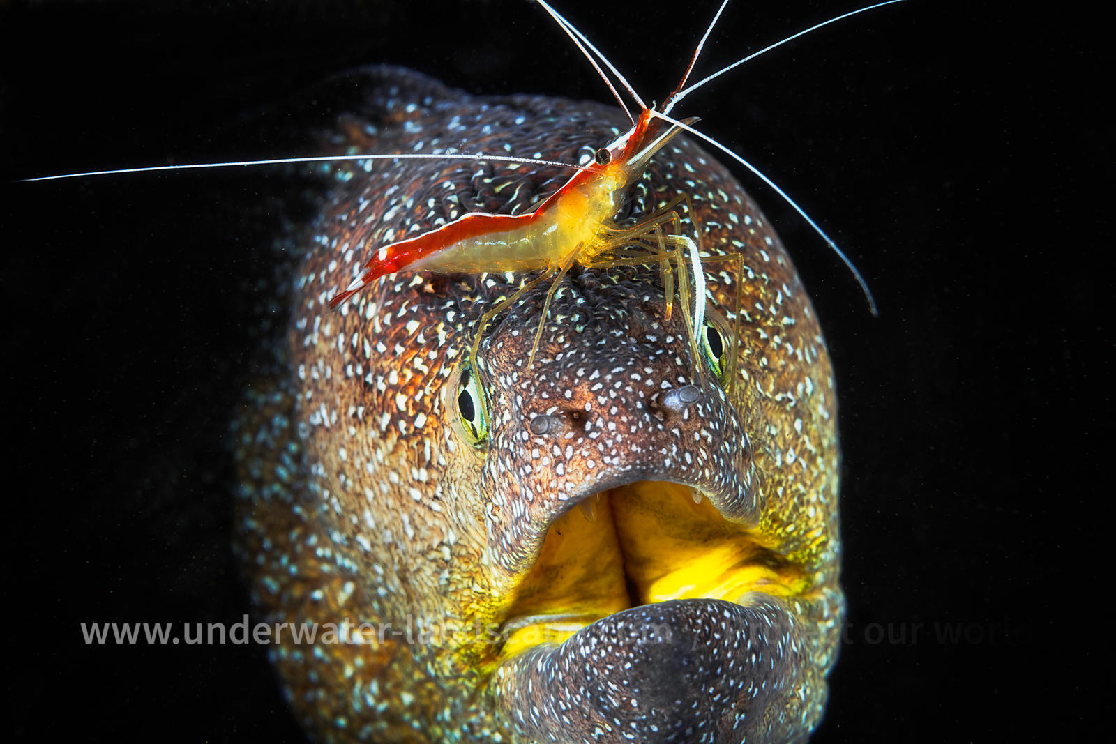 Starry moray and cleaner Shrimp!