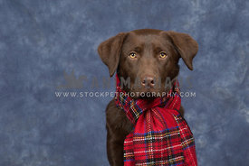 Chocolate Labrador wearing tartan scarf against a blue background