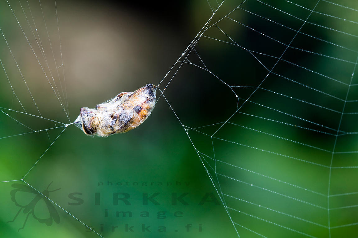 Honey bee in Spiderweb