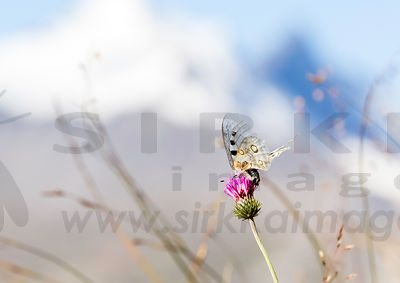 Apollo butterfly in Val-d'Isere, French Alps