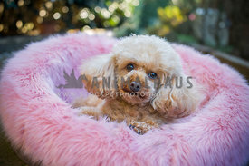 Fluffy Poodle lying in pink fluffy bed