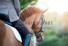 Woman rider on gorgeous Oldenburg warmblood horse