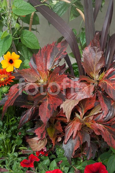Photo De Acalypha Wilkesiana Mosaic Feuillage Rouge Panaché De