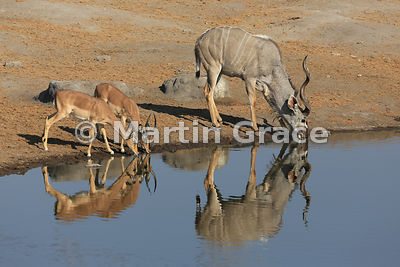 Single Greater Kudu (Tragelaphus strepsiceros) with two Black-Faced Impalas (Aepyceros melampus petersi) drinking from Chudob...