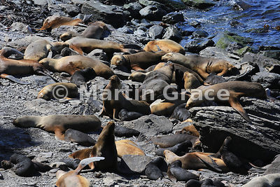 Southern Sea Lions (Otaria flavescens) resting on the shore, Sea Lion Island, Falkland Islands