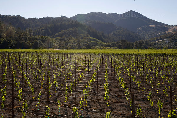 Newly planted vineyard in Oakville, California