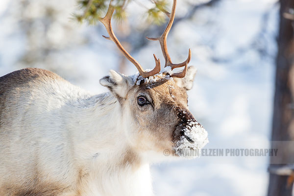 White and brown reindeer in the forest in Lapland
