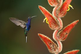 Violet Sabrewing, Costa Rica