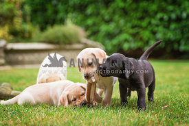 labrador puppies playing with soft toy squirrel