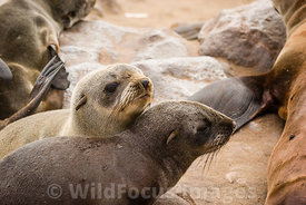 Young Cape Fur seals, Arctocephalus pusillus pusillus, Cape Cross Seal Colony, Skeleton Coast, Namibia; Landscape